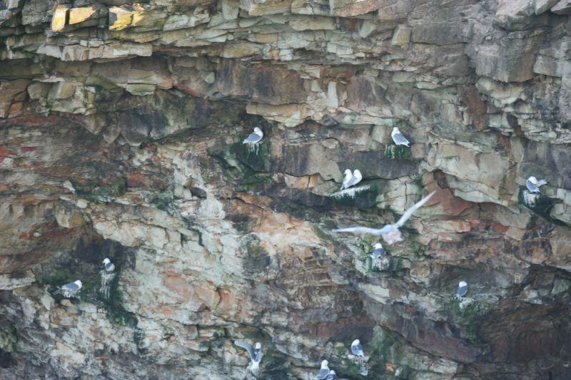 I klippene under Kapp Kjellstrøm er det mange gode steinhyller å klamre seg fast på. Her har krykkjene funnet seg til rette. Foto: BOF