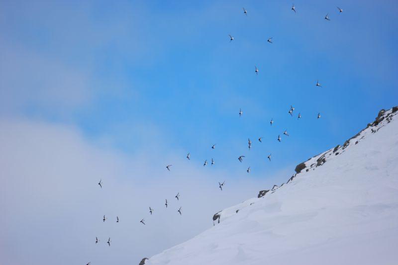 Alkekonge i fri flukt over Jutulsætet på nordkanten av Miseryfjellet. Foto: BOF