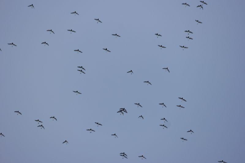 Og de flyver i flokk, når de er mange nok...... Foto: BOF