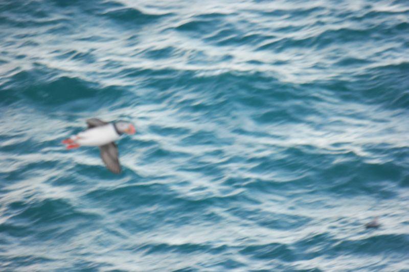 Et dårlig fokusert bilde av en lundefugl i flukt. Foto: BOF