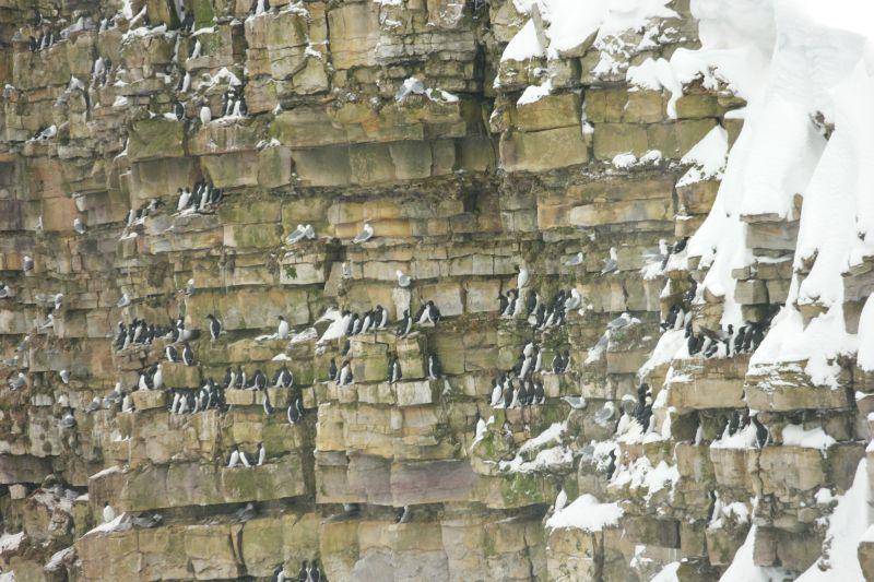 Lomvi og krykkje klamrer seg fast i hyllene i klippen under Hambergfjellet. Foto: BOF