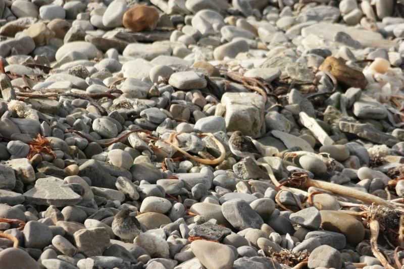 Fjæreplyttene tok en siesta i varmen på stranda ved Tyskerhuset. Foto: BOF