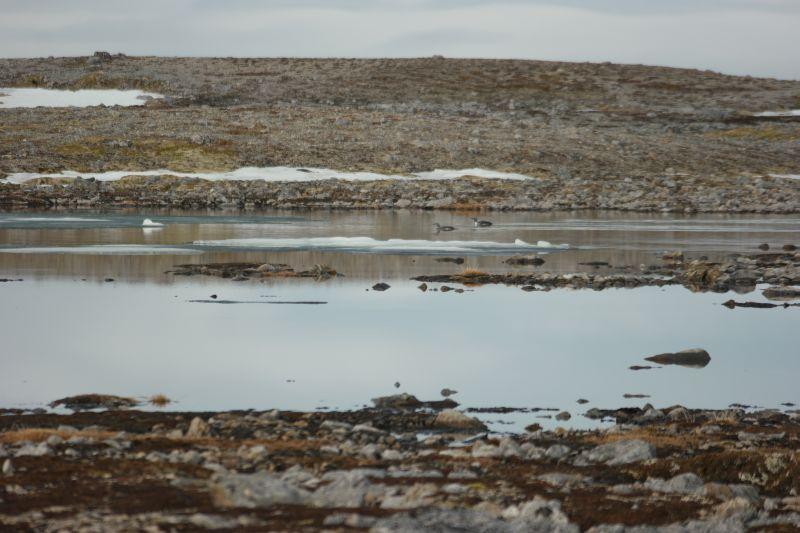 Smålom koste seg på Solskinnstjønnene mellom isflaka. Foto: BOF
