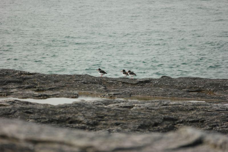 3 tjeld vandret rolig på svaberga ytterst på Gravodden. Foto: BOF