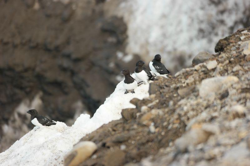 Alkekongene koser seg på i snøfonner og berghyller mens de hyler fornøyd at våren er her. Foto: BOF